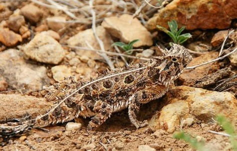 Horned Lizard 475x303 Looking for a New Dream   Women and Midlife Rebirth