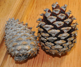 Pinecones open and closed